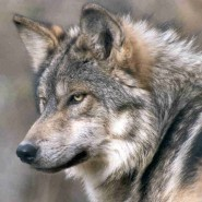 Patterns In Nature – Wolves, Cougars, and Rivers