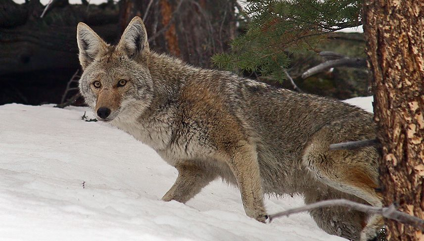 Coyotes Are Good Guys