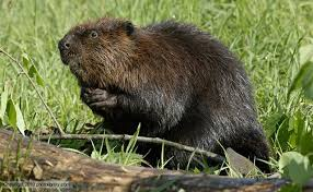 Battling Climate Change with Beaver Restoration