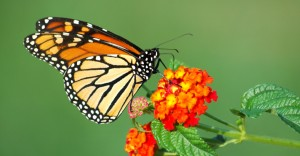 Central-America-Monarchs-Photo-1-flower
