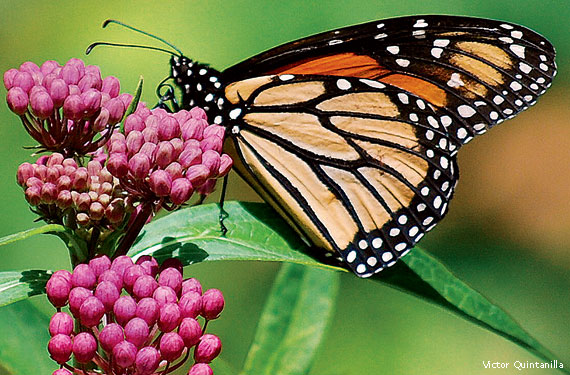 Patterns In Nature : What The Monarch Butterfly Can Teach Mankind