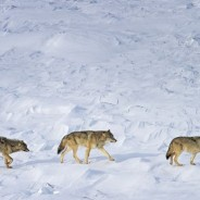 Patterns In Nature : The Isle Royale Wolves Are Still A Conservation Paradox