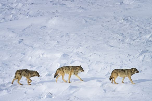 The Isle Royale Wolves Are Still A Conservation Paradox