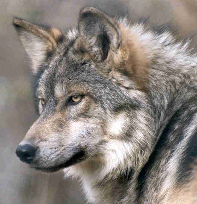 Being Wolf Lessons From Natures Tangled Web Natures Web Of Life
