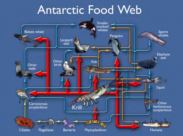 antarctic food webs