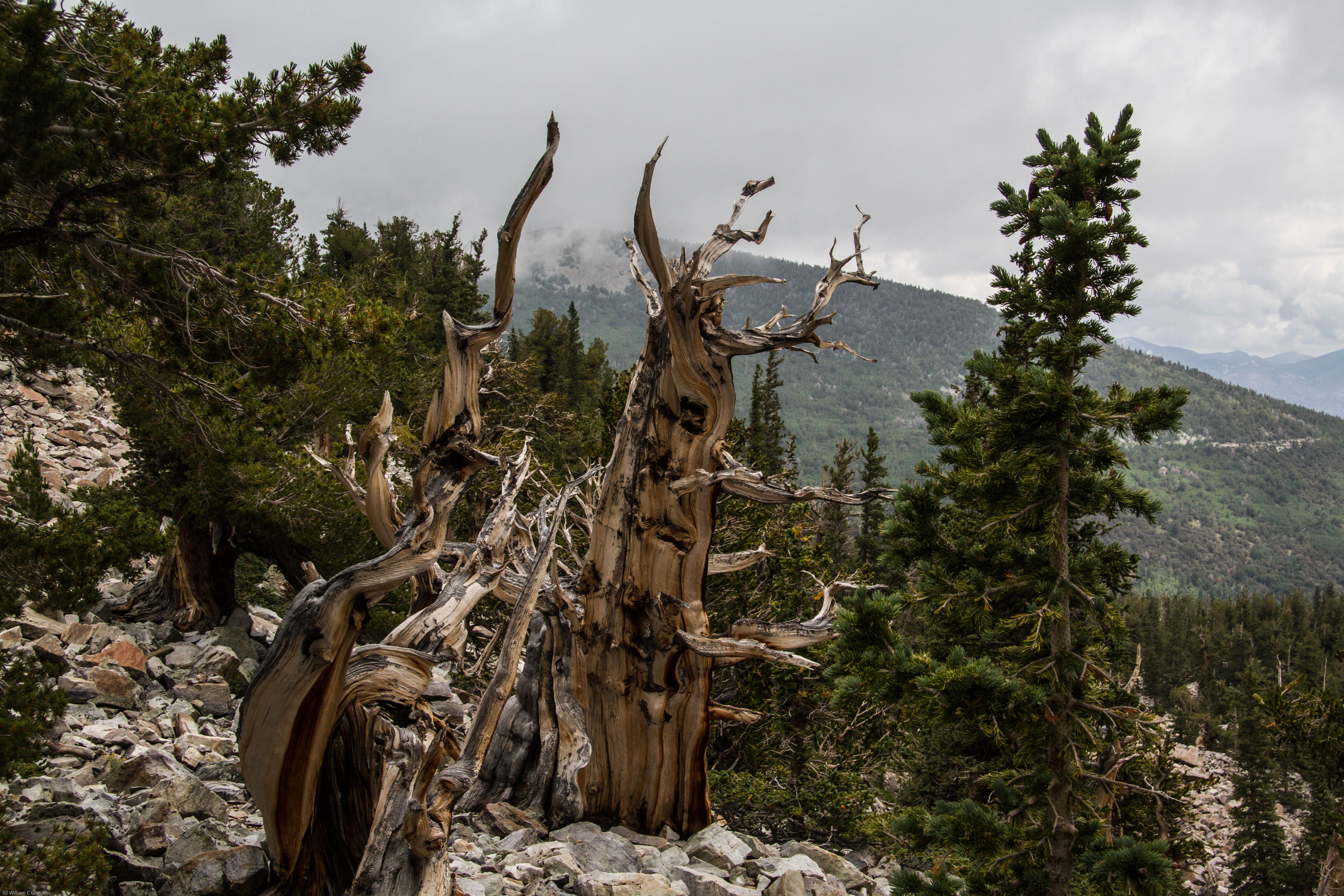 The Independent Life Of Bristlecone Pine Forests